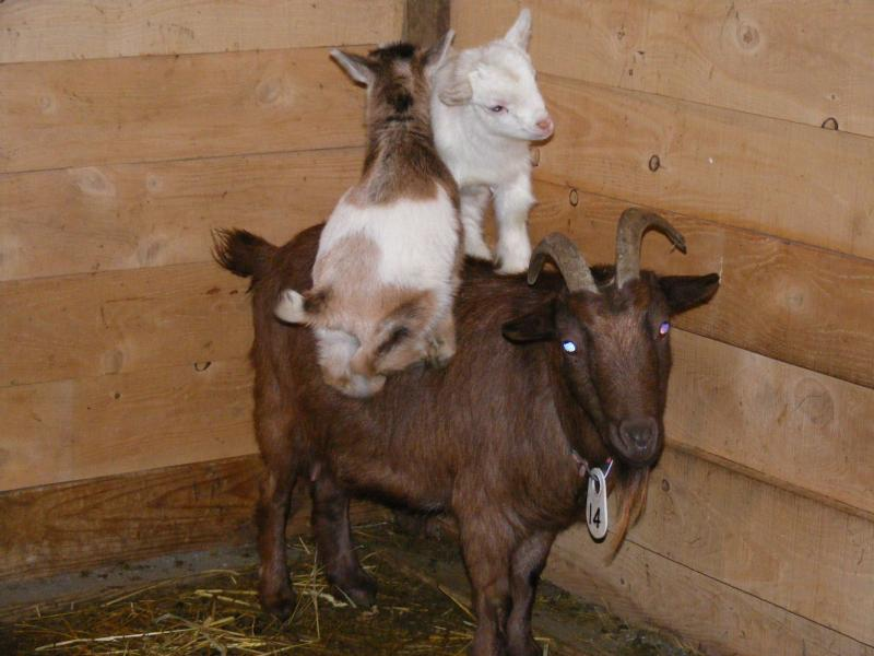 Nigerian dwarf goat & kids photo gift art