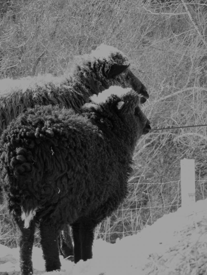 2 navajo churro sheep b&w photo gift art