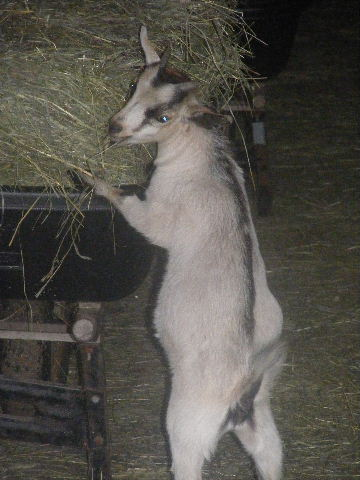 Nigerian dwarf/ pygmy cross goat stealing from wheelbarrow