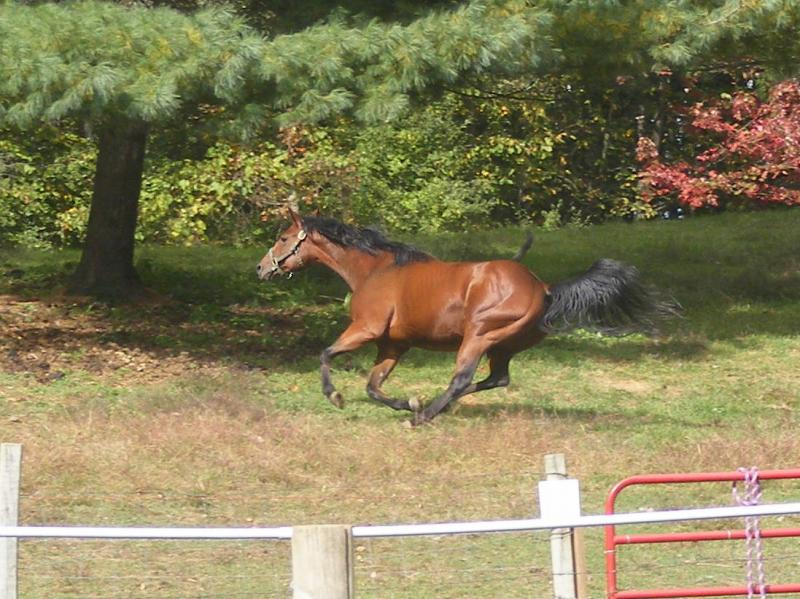 Quarter horse mare running photo gift art