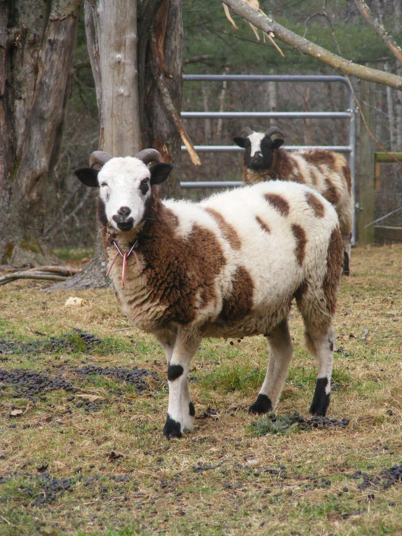 Jacob sheep 2 horned ewe 30% black Delilah