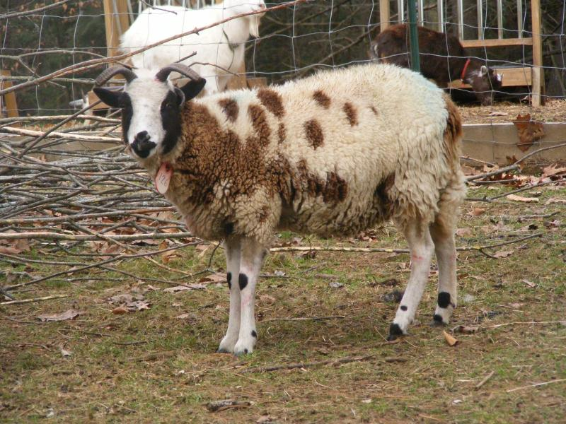 Jacob sheep ewe 4 horned 35% black Lily