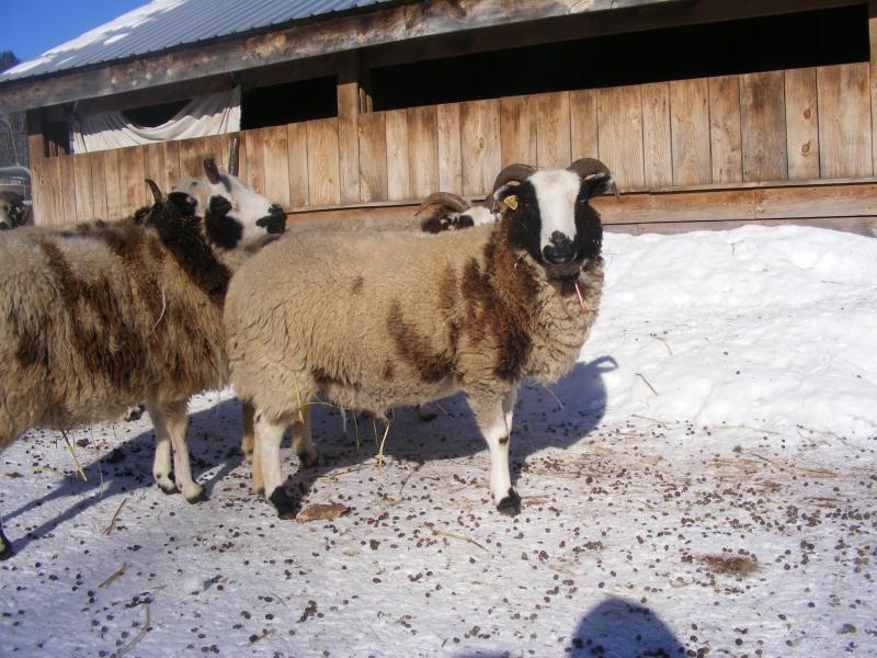 Jacob sheep ewe 2 horned 30% black Lia