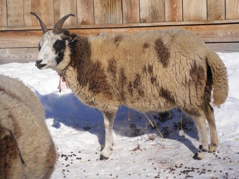 Jacob sheep ewe 4 horned 30% black Nora