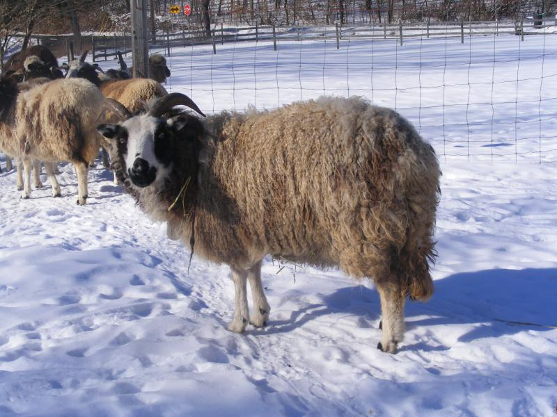 Jacob sheep ewe 2 horned black Rebecca
