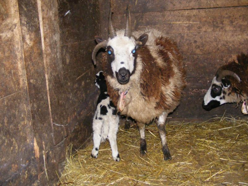 Jacob sheep ewe 4 horned 40% black Faith