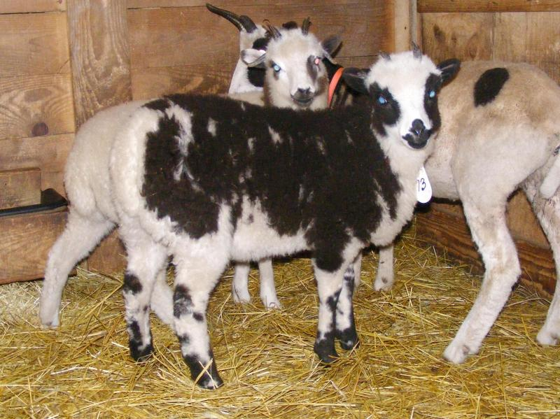 Jacob sheep ewe lamb 4 horned 75% black