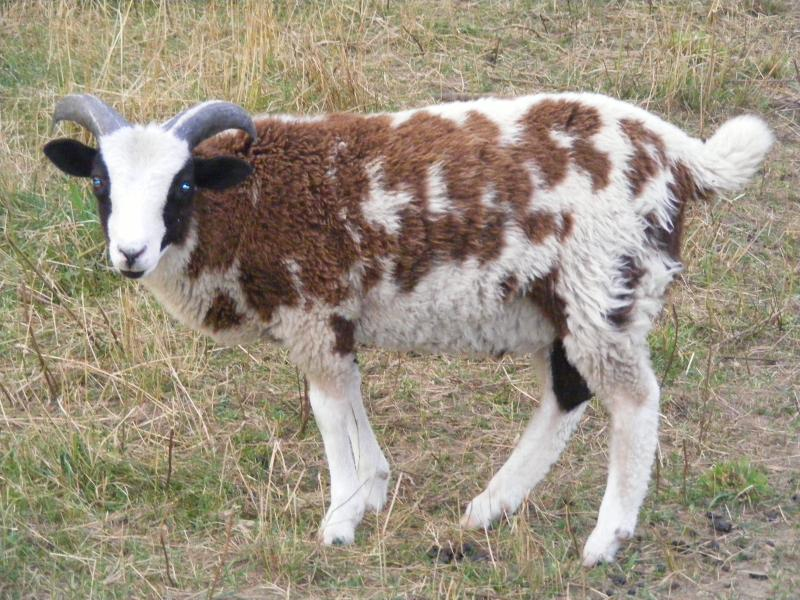 Jacob sheep 2 horned ram 40% black