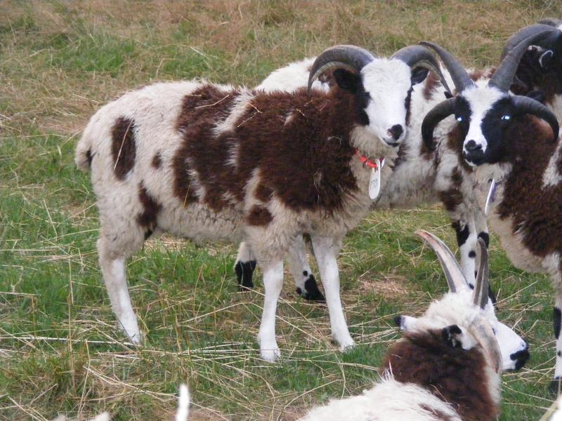 Jacob sheep ram lamb 2 horned 40% black Naaman