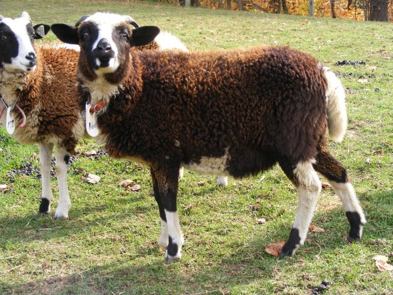 Navajo churro/ jacob sheep cross ewe 2 horned black tgh portia