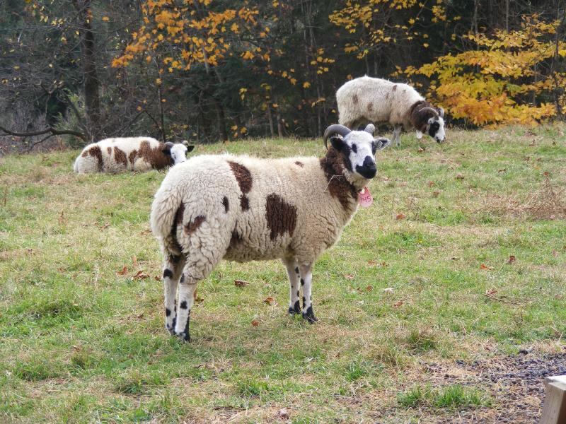 Jacob sheep 2 horned ewe 30% black  Joelle
