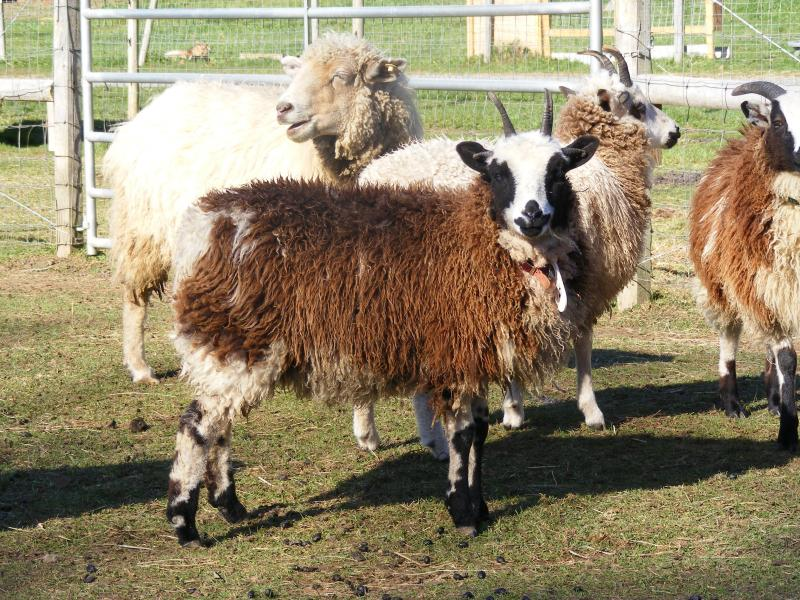 Jacob sheep ewe lamb 4 horned 75% black parker