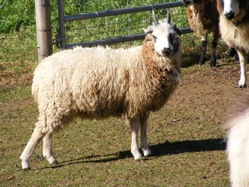 jacob sheep ewe 4 horned 15% lilac Janoah