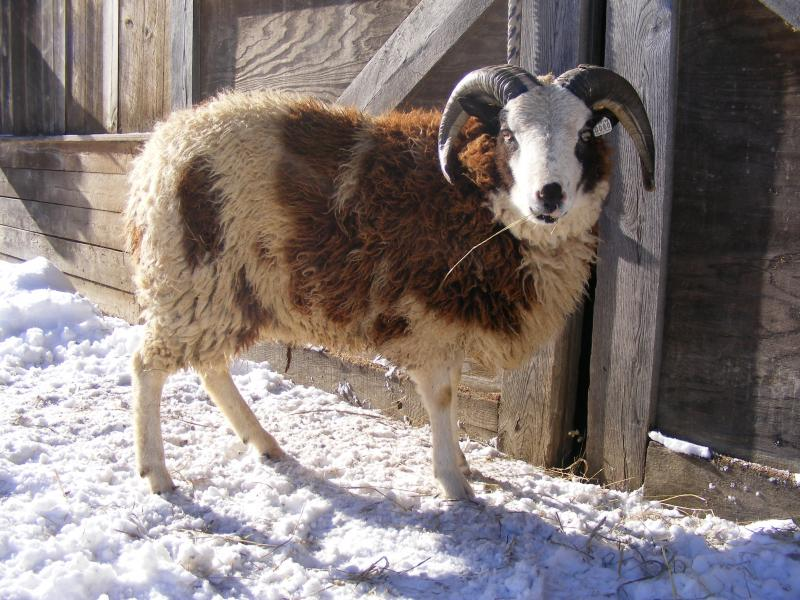 Jacob sheep 2 horned ram Naaman