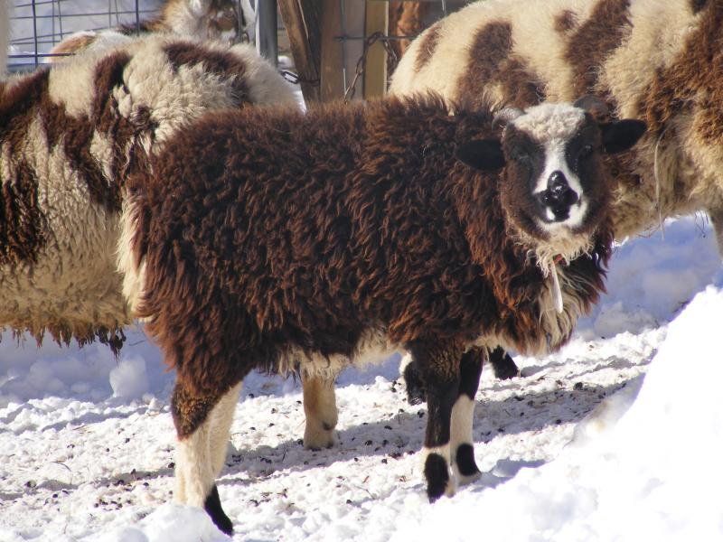 Jacob sheep/Navajo churro sheep cross ewe 2 horned Portia