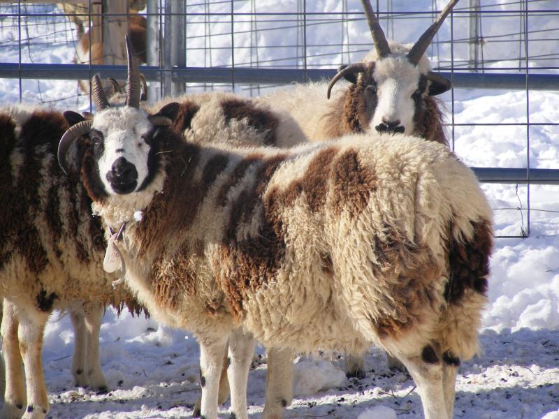 Jacob sheep 4 horned ewe Faith