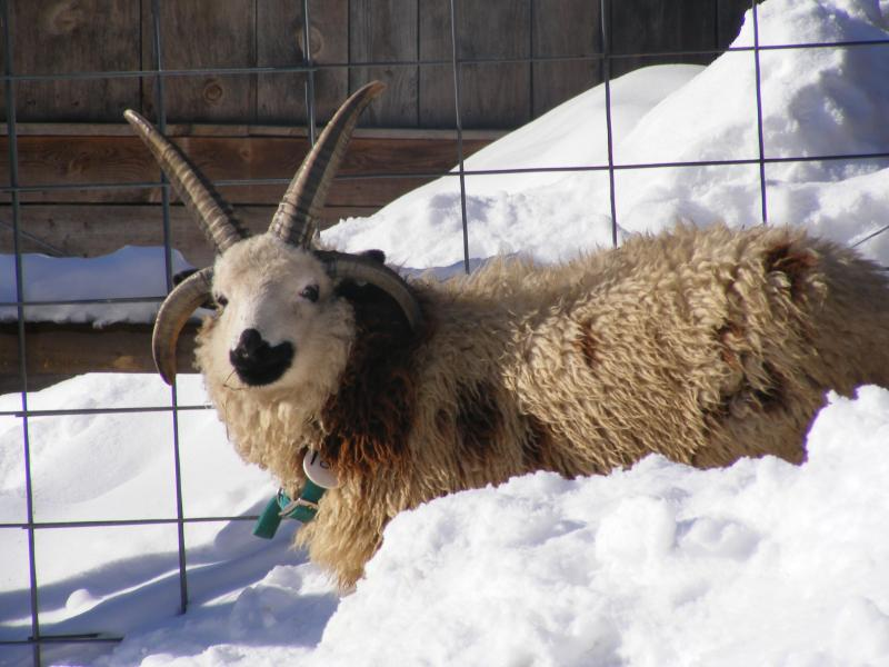 Jacob sheep wether 5 horned fused Nathan