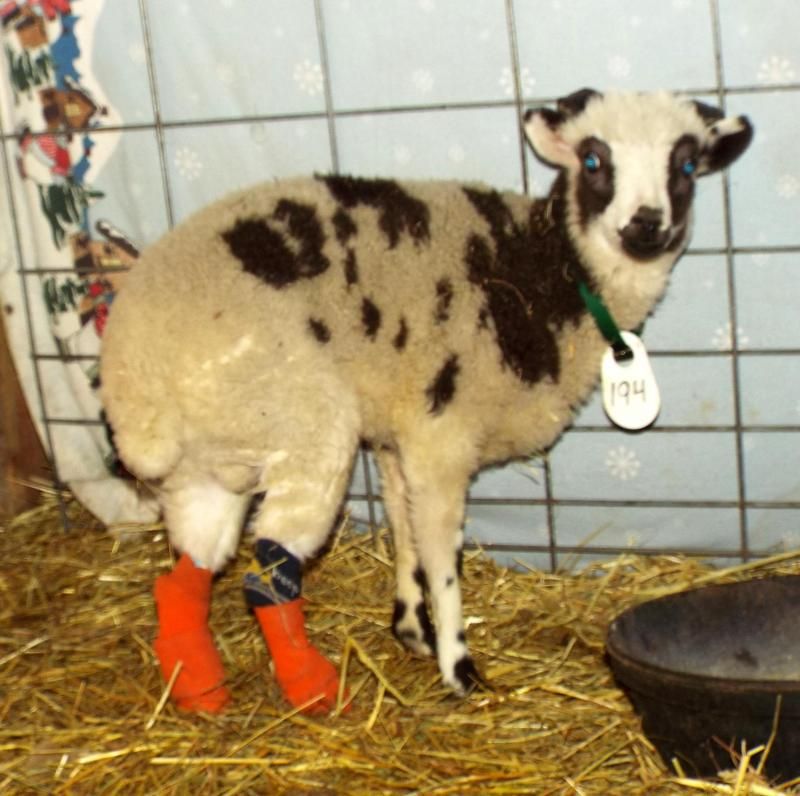 Jacob sheep wether 2 horned lilac disabled Dan