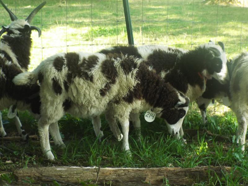 Jacob sheep ewe 2 horned 40% black Lucia
