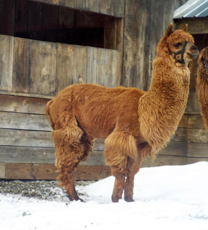 alpaca huacaya medium fawn apollo