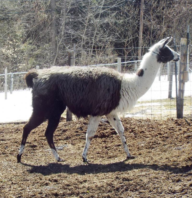 llama black and white pinto Sage