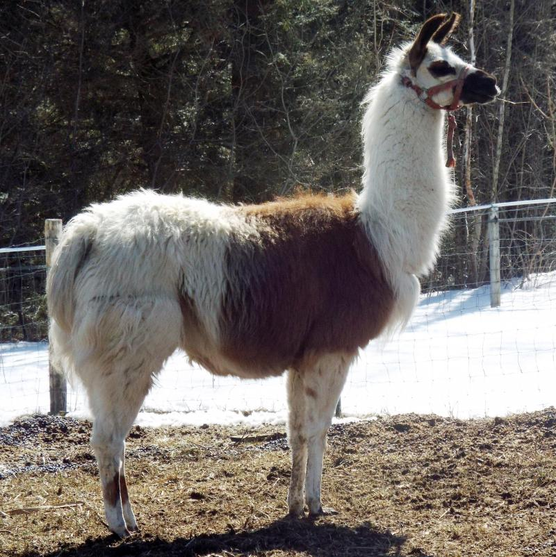 llama white and gold Marcy