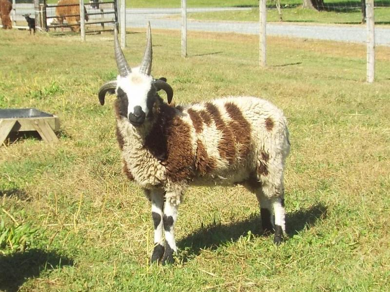 Jacob sheep 4 horned ram black Forth
