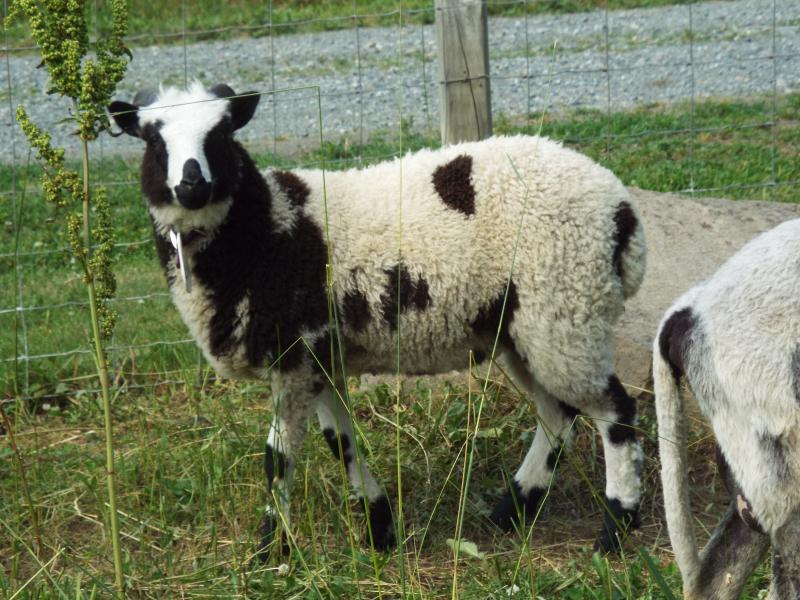 Jacob sheep 2 horned black ewe Judith
