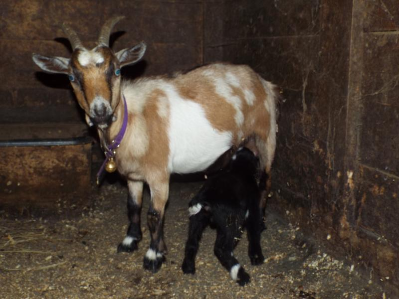 Nigerian dwarf goat doe chamoisee-gold & black, belted, gray patches Molly