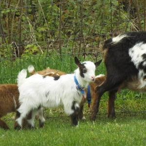 nigerian dwarf buck kid black & white Harley