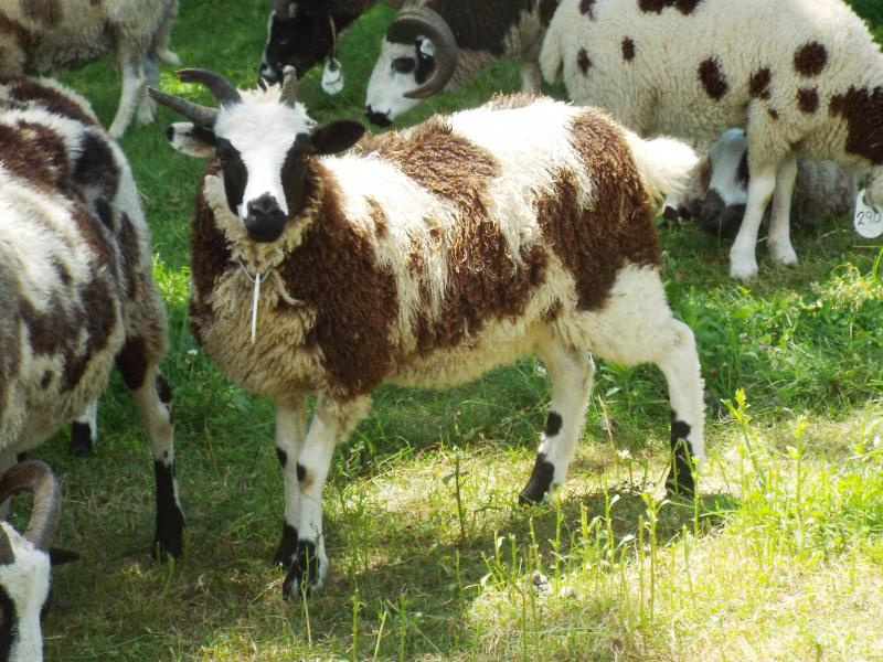 jacob sheep ewe 4 horned jerial