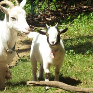 NIGERIAN DWARF BUCK KID BLACK & WHITE THOR