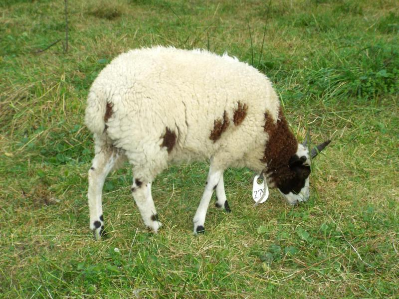 jacob sheep ewe 4 horned Lucille