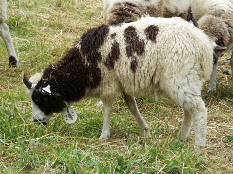 jacob sheep ewe 4 horned Mesha
