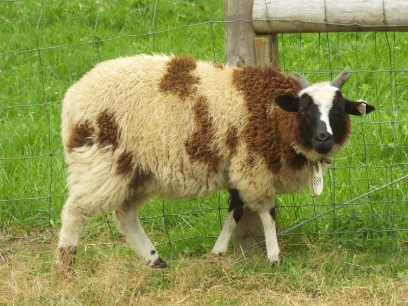 Jacob sheep ewe 2 horned black Maresha