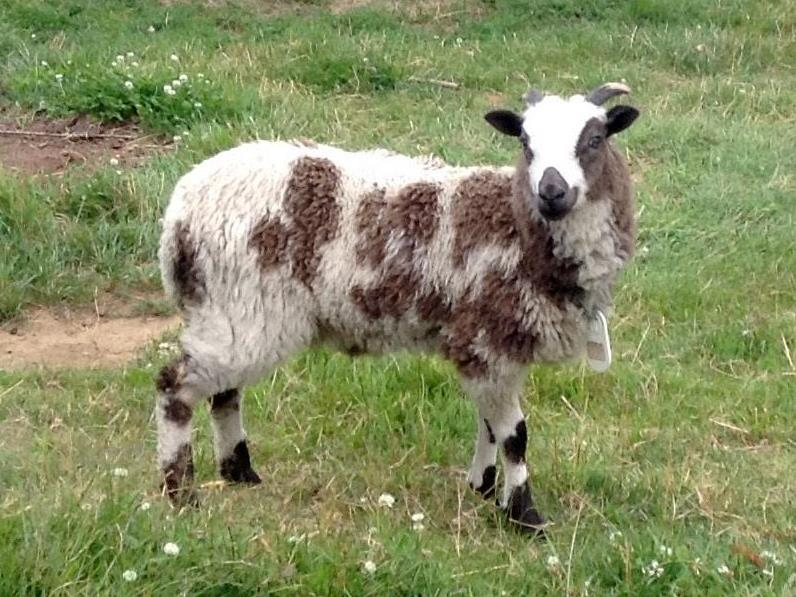 Jacob sheep 2 horned lilac ewe Rachel