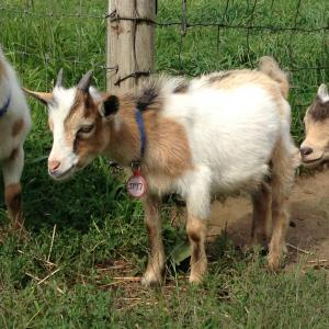 Nigerian dwarf/pygmy cross buck gold & white Alex G Bell