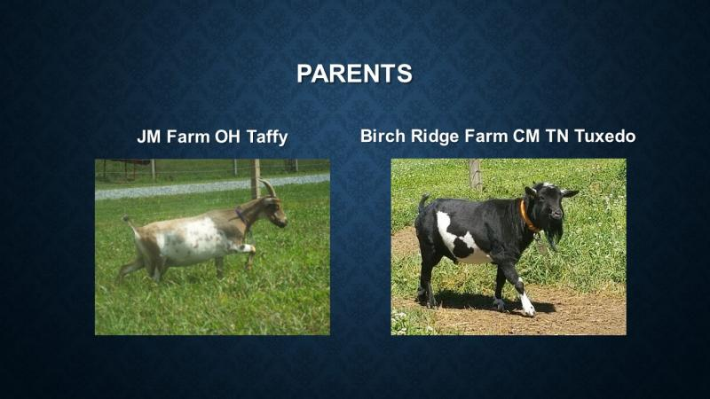 nigerian dwarf goat doe tippy parents