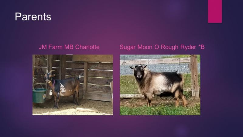 nigerian dwarf goat doe crimson parents