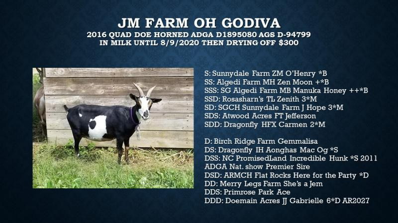 nigerian dwarf goat doe godiva for sale