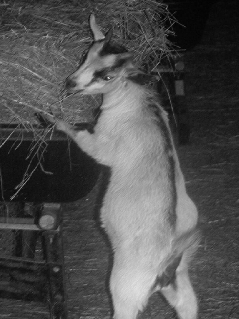 trouble the goat buckling wheelbarrow photo gift